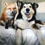 Cặp đôi Cáo – Cún cưng nhất mạng xã hội khiến FA phải GATO hết nấc