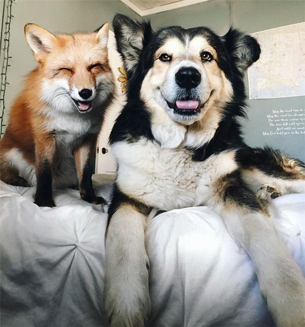 Cặp đôi Cáo Juniper và Chó Moose hạnh phúc bên nhau.