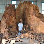 Kỳ lạ gốc bàng đá trên 400 tuổi, người mua trả 35 tỷ đồng chưa bán ở Sóc Trăng