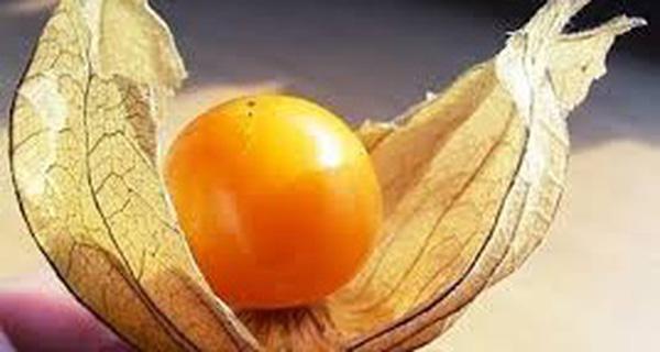 Tầm bóp: Ở Việt Nam chỉ là quả dại, Nhật Bản bán 700.000 đồng/kg