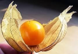 Tầm bóp: Ở Việt Nam chỉ là quả dại, Nhật Bản bán 700.000 đồng/kg - Ảnh 3.