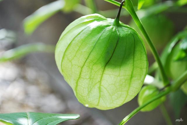 Tầm bóp: Ở Việt Nam chỉ là quả dại, Nhật Bản bán 700.000 đồng/kg - Ảnh 5.