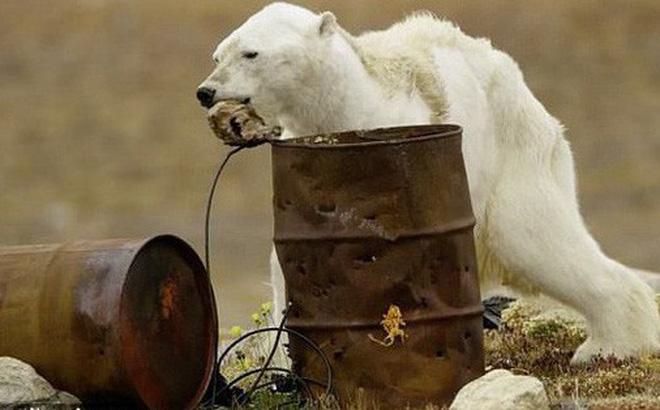 Sự thực về đoạn video chú gấu trắng Bắc cực gầy trơ xương lê bước kiếm ăn vì quá đói
