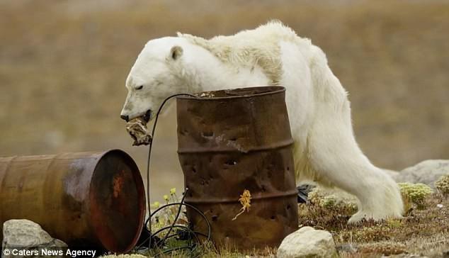 Sự thực về đoạn video chú gấu trắng Bắc cực gầy trơ xương lê bước kiếm ăn vì quá đói - Ảnh 1.