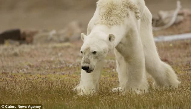 Sự thực về đoạn video chú gấu trắng Bắc cực gầy trơ xương lê bước kiếm ăn vì quá đói - Ảnh 3.