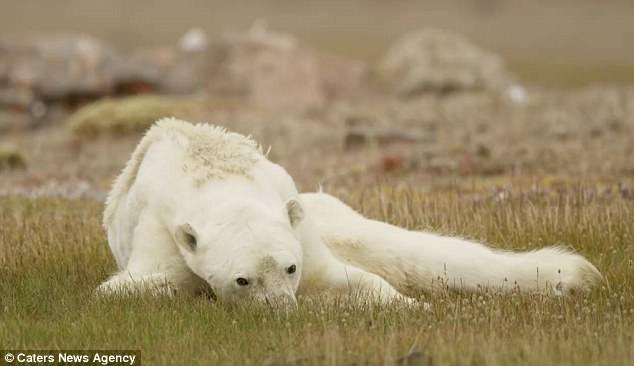 Sự thực về đoạn video chú gấu trắng Bắc cực gầy trơ xương lê bước kiếm ăn vì quá đói - Ảnh 9.