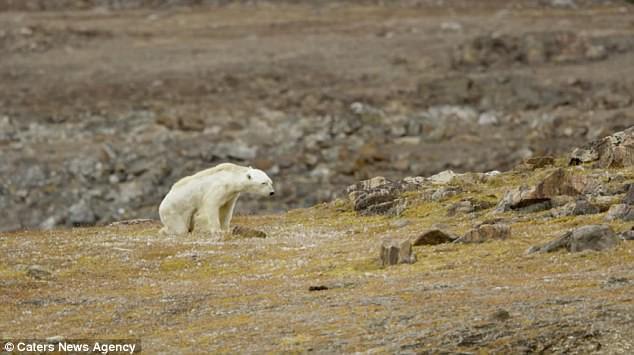 Sự thực về đoạn video chú gấu trắng Bắc cực gầy trơ xương lê bước kiếm ăn vì quá đói - Ảnh 7.