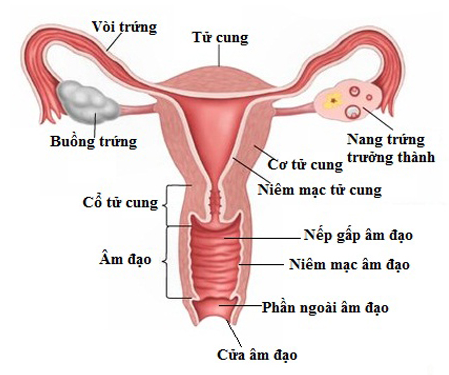 Image result for ung thư buồng trứng