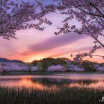 Cuối xuân, rừng hoa anh đào ở Nhật Bản vẫn làm xiêu đắm lòng người