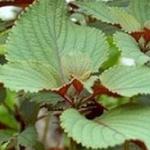 Tía tô: Thuốc quý từ rễ đến lá