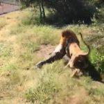 Kinh hoàng cảnh sư tử ngoạm người chủ lôi đi